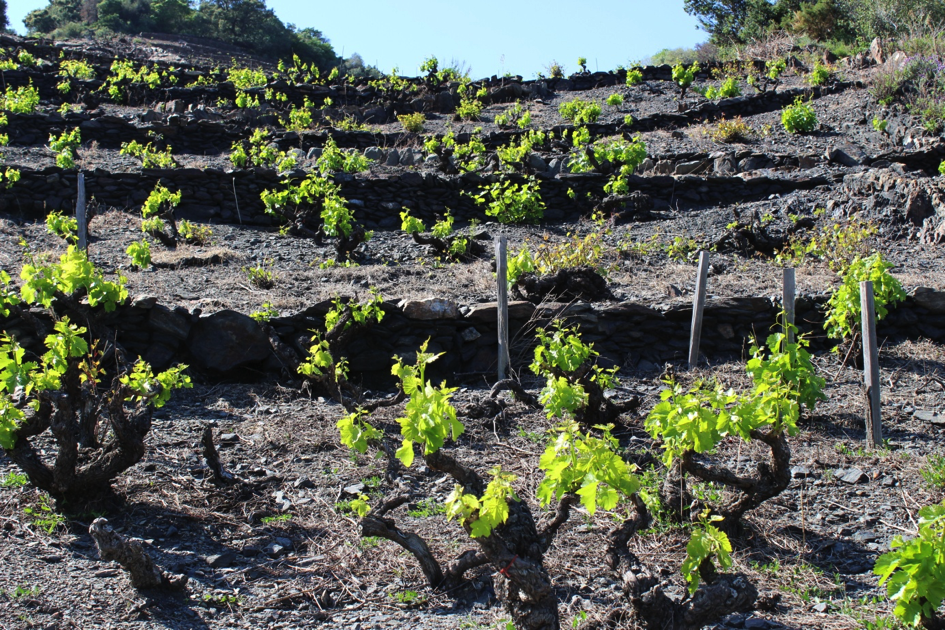 Vignes de l'appellation AOC Collioure